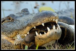 Crocodile-and-Snake